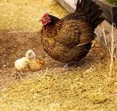Постер, плакат: Весна куры Бантэм курица с цыплятами