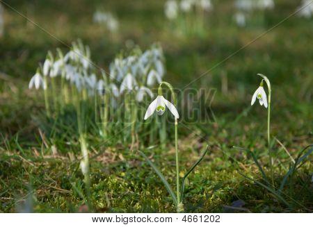 Single Snowdrop Fully In Bloom
