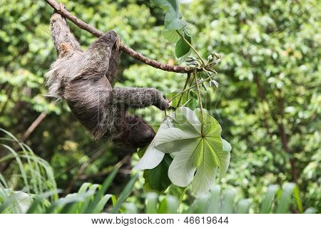 Three Toed Sloth Eating