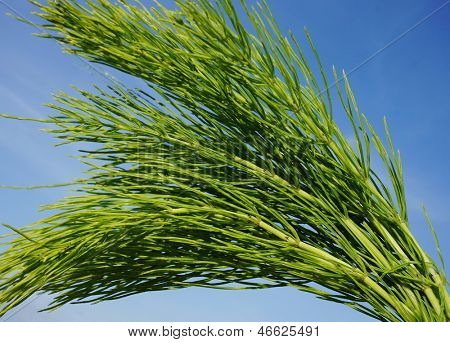 Horsetail (Equisetum) healing plant bunch on blue sky in a sunny summer day