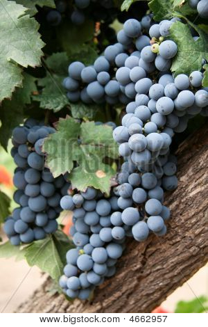 Grapes In Mendoza