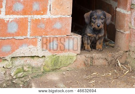 Small brown dachshund