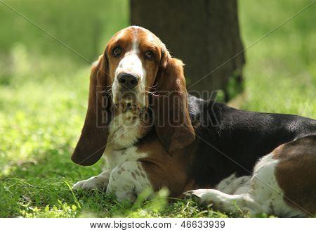 Tricolor Basset Hound Limousine Dog