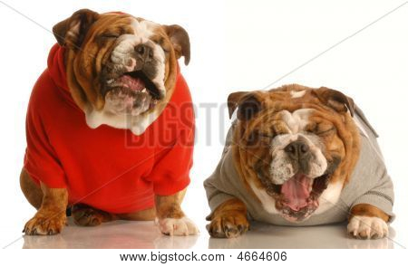 Two Bulldogs Laughing