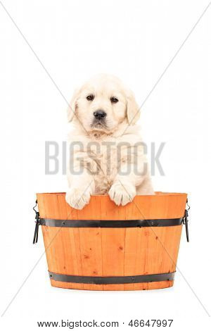 Cute retriever puppy dog standing in a barrel isolated on white background