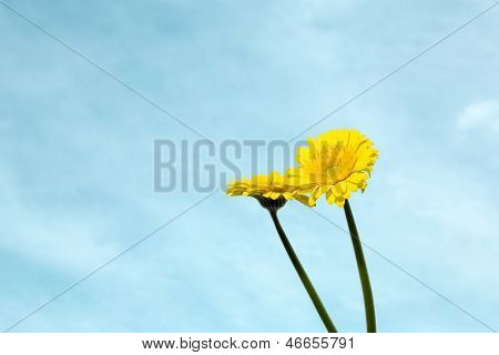 Yellow Gerbera Mini Flowers On Blue Sky Background