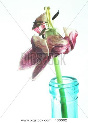 Wilting Tulip