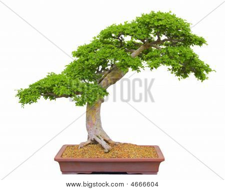 Bonsai Isolated On White