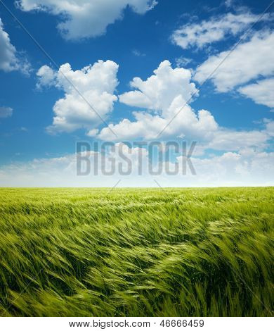 Greed Wheat Field and Blue Sky with White Clouds