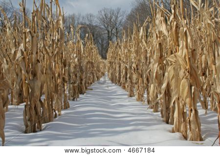 Winter Cornfield