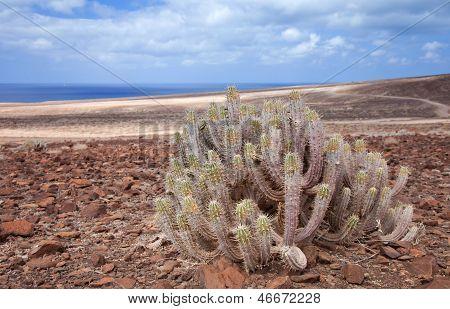 Southern Fuereteventura , Euphorbia Handiensis
