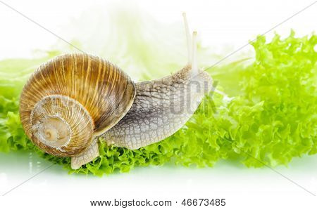 Garden Snail On Lettuce Leaf