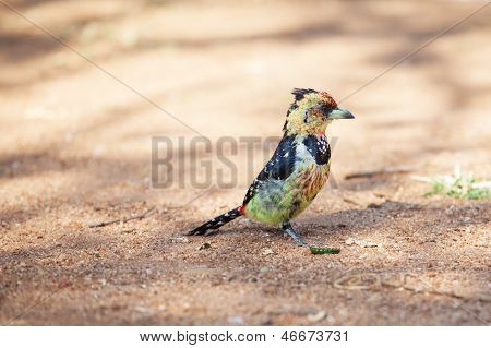 Crested Barbet Scavenging For Food On The Ground