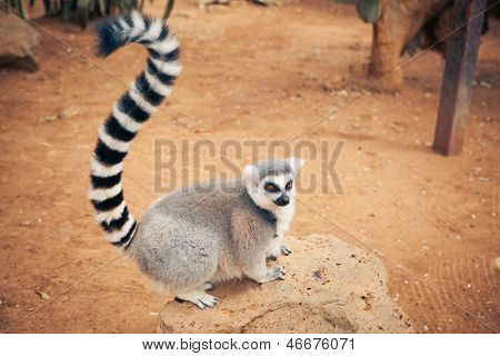 cute ring-tailed lemur