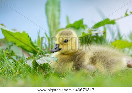 Little baby Canada goose near water