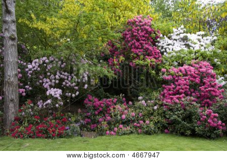 Rhododendron And Laburnum Border At Peover Hall, Cheshire