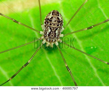 Araña de segador
