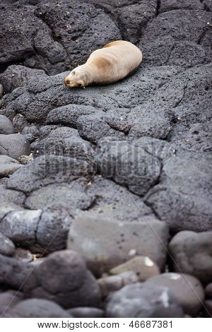 Portrait of sea lion at rocky coast of South Plaza island in Galapagos