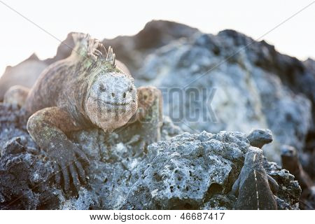Marine iguanas endemic of Galapagos islands, Ecuador
