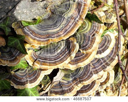 Many Zoned Polypore (coriolus Versicolor)