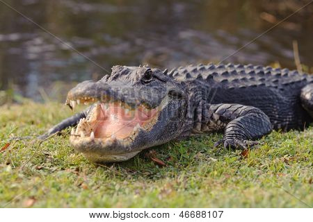 Aggressive alligator in Everglades park in Florida