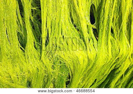 Close up van mariene groene algen