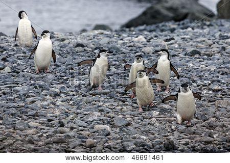 Chinstrap Pinguins