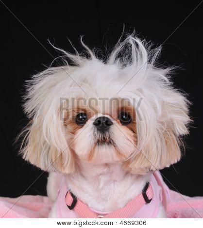 Shih Tzu Dog Bad Hair Day