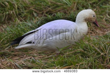Single Snow Goose Close Up