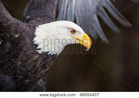 Majestosa águia careca