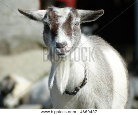 Goat On A Farm