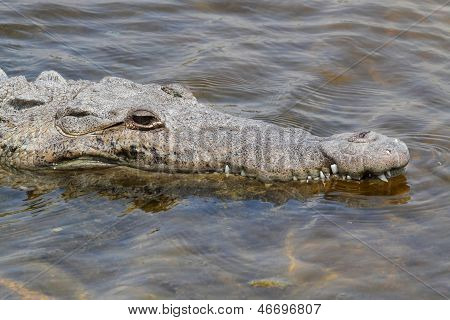 American Crocodile (crocodylus Acutus) Basking In The Sun