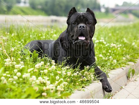 Purebred Cane Corso lying on the grass