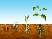 picture of germination  - The germination process for a bean plant - JPG