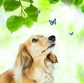 image of long hair dachshund  - Long hair Dachshund looking at the blue butterflies with shiny green leaves - JPG