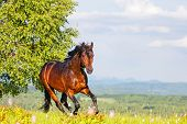 stock photo of bay horse  - Bay horse skips on a meadow against mountains - JPG