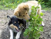 foto of sheltie  - two little sheltie puppy gnaw prickly bush - JPG