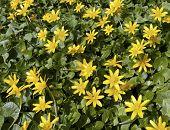 stock photo of celandine  - Blossoms of Lesser celandine in the spring - JPG