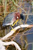 Green Heron Scratching
