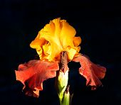 stock photo of night-blooming  - bright yellow and violet iris in the night - JPG
