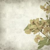 foto of cassia  - textured old paper background with yellow cassia flowers - JPG