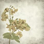 stock photo of cassia  - textured old paper background with yellow cassia flowers - JPG