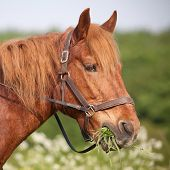 stock photo of horses eating  - Draft horse eating grass on the summer pasture - JPG