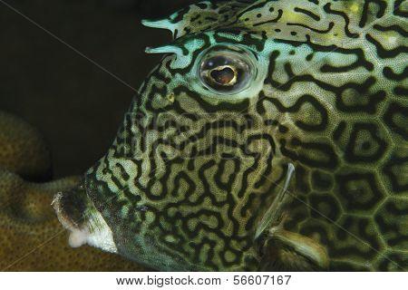 Closeup Of Honeycomb Cowfish