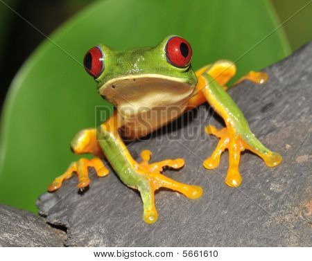Red eyed green tree frog on branch