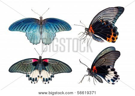 Top And Side View Of Great Mormon Butterfly