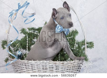 Thai Ridgeback Puppy In A Basket. Two Months Old