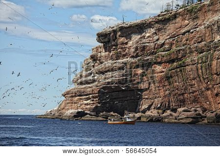 The cliffs of Bonaventure Island in the Gaspe, Quebec, is the home of the largest northern gannet population in the world. it is located near Perce, Quebec, Canada and is a protected reserve.