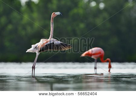 The Juvenile  Flamingo  Waved Wings