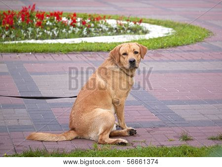 Red Dog Sitting In The Park
